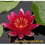 1 Ninfea diversi colori, Selezione di colori possibili + Vaso piante 30x30x25 cm