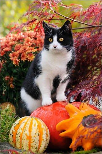 Stampa su legno 40 x 60 cm: Tuxedo cat on colourful pumkins in a garden di Katho Menden