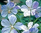 Pack x1 Hardy Geranium Splish-Splash Perennial Plant WPC Prins Bulbs/Tubers