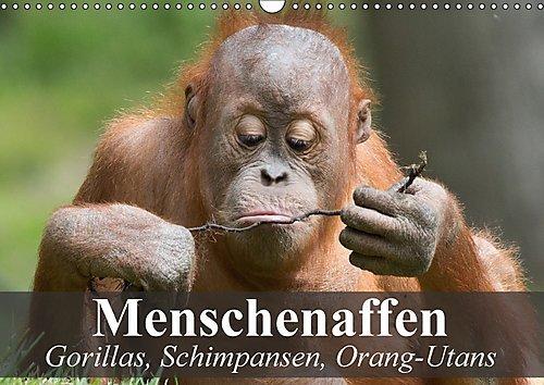 Preisvergleich Produktbild Menschenaffen. Gorillas, Schimpansen, Orang-Utans (Wandkalender 2017 DIN A3 quer): Unsere faszinierenden Verwandten aus dem Dschungel (Monatskalender, 14 Seiten ) (CALVENDO Tiere)