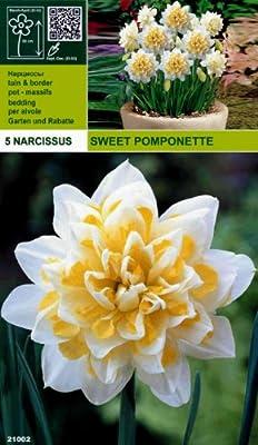 """Rarität: Gefüllte Narzisse """" Sweet Pomponette """" (5) von Mosselman bei Du und dein Garten"""