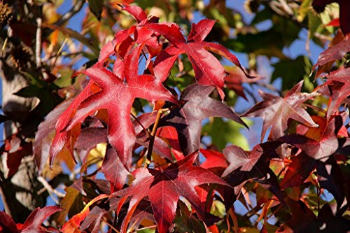 Amerikanischer Amberbaum Liquidambar styraciflua Pflanze 40cm Seesternbaum