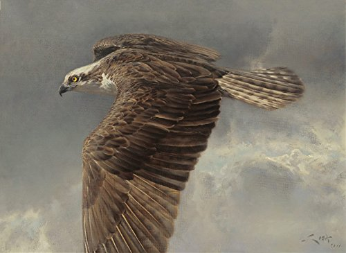 osprey-pandion-haliaetus-overflying-the-eagle-print-on-canvas-70-x-51-cms