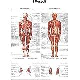 Poster di muscoli - Quick Reference Chart (Italian Edition)