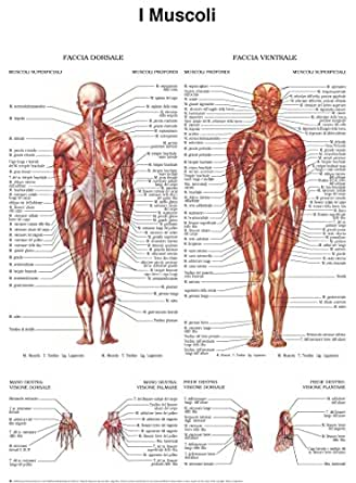 Poster di muscoli - Quick Reference Chart eBook: HC