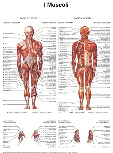 Poster di muscoli - Quick Reference Chart