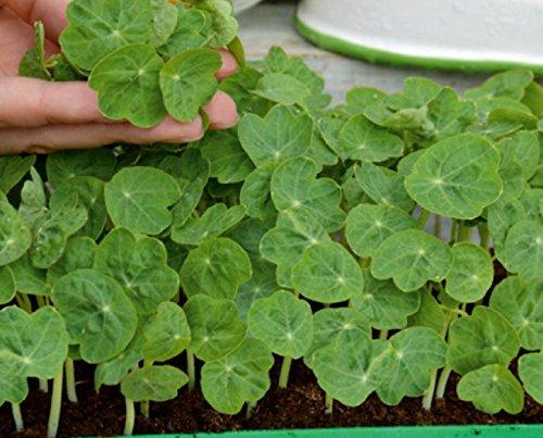 Microgreens - capucine naine - jeunes feuilles au gout unique - 160 graines