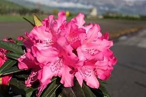 Rhododendron Hybride 'Rosa Perle' INKARHO - Im 4 lt. Topf, Höhe ca. 25-30cm