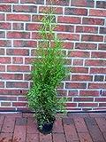 20 Thuja Pflanzen Brabant im Topf, Thuja Brabant, Höhe: 50-60 cm