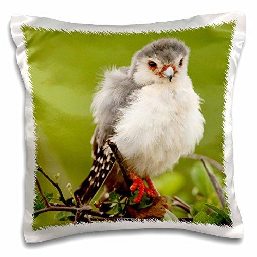danita-delimont-birds-kenya-samburu-reserve-pygmy-falcon-bird-af21-jmc0278-joe-and-mary-ann-mcdonald