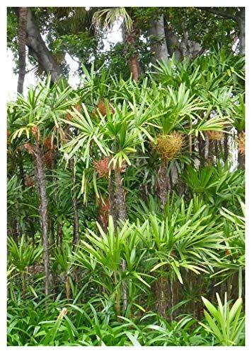 TROPICA - Taiwan-Steckenpalme (`Rhapis excelsa `Taiwan`) - 5 Samen