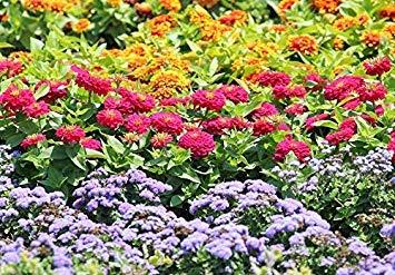 shop meeko flossflower, giardino zinnia e persiana zinnia - semi di 3 flowering s'varietà -