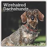 Wirehaired Dachshunds - Rauhhaardackel 2020 - 16-Monatskalender mit freier DogDays-App: Original BrownTrout-Kalender [Mehrsprachig] [Kalender] (Wall-Kalender)