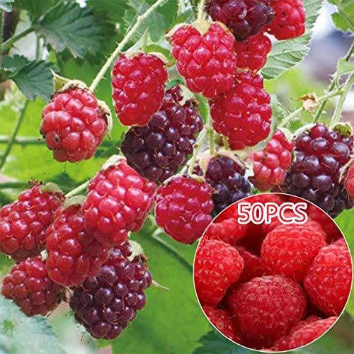 Obiqngwi 50 pezzi deliziosi semi di frutta lampone dolce succoso semi di perenni piante da esterno per il giardino - mescola colore semi di lampone