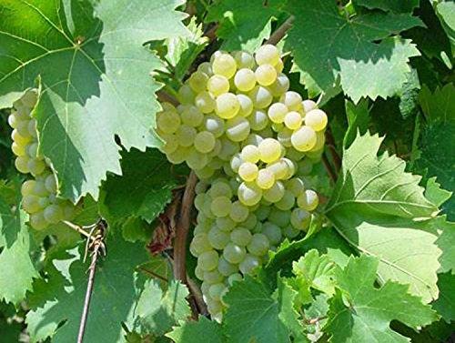viti-innestate-fragola-bianca-piantine-pianta-piante-di-vite-uva-da-tavola