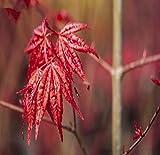 Acer palmatum Beni-maiko - roter asiatischer Fächerahorn - verschiedene Größen (50-60cm - 3Ltr.)