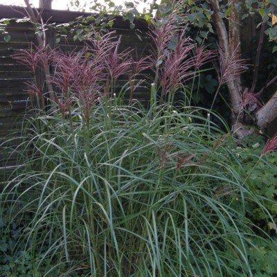 lichtnelke - Chinaschilf (Miscanthus sinensis FERNER OSTEN) Tb9 von Lichtnelke Pflanzenversand bei Du und dein Garten