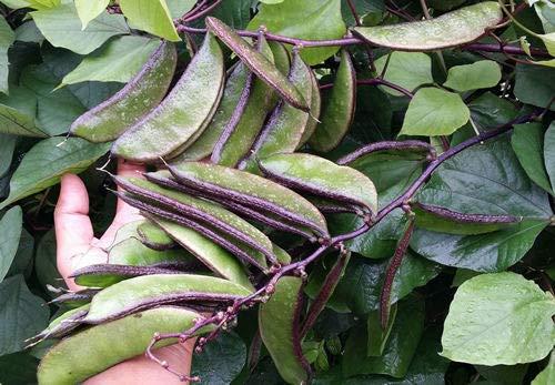 ScoutSeed SELTENE Hyazinthe Bohne Lila Grün, Indische Bohne - Extrem schwere Erträge - 5 Samen (Samen Bohne Lila)