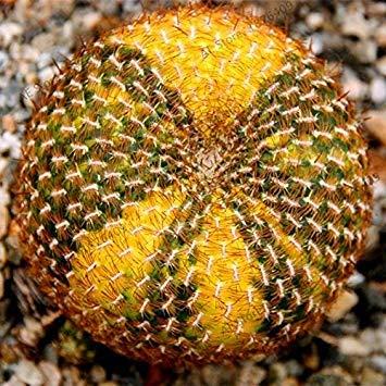 Pinkdose® Davitu 10 Teile/paket Astrophytum Ornatum Topf Succulent Lithops Blume Bonsai Samen
