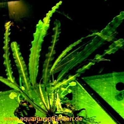 1 Aponogeton capuroni, Wasserähre, stark gewellt von 231 auf Du und dein Garten