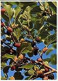 TROPICA - Gelso nero (Morus nigra) - 200 Semi- Piante utili