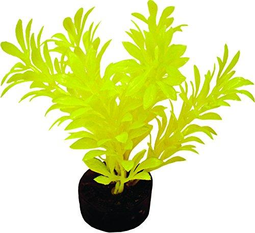 Blaue Band Neon Mini Pflanze gelb (Blue Pflanzen Ribbon)