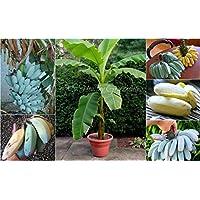 """Portal Cool Semillas - extremadamente raro Semienanas""""Blue Java"""" o denominación de helado de plátano, Zona 8!"""