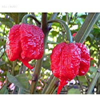 ScoutSeed 10pcs Rare Pepper Chilli Seeds Super Peppery Pungent Seed Garden Vida al Aire Libre