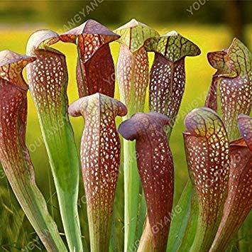 50 Pièces nouvelles semences 2017 25 sortes Flytrap semences Bonsai pot Dionaea Graine de plantes Terrasse Jardin Carnivore Graine de plantes Brown