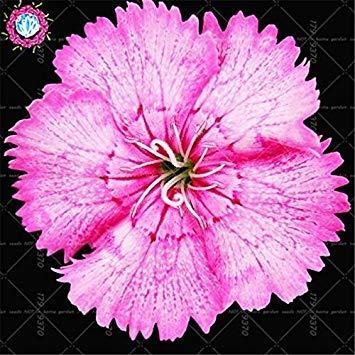 7: Neuheiten 100Pcs Dianthus Barbatus Bonsai Seeds.Perennial seltene Regenbogen-Indoor-Blumensamenpflanzen Topf. Blumen für Garten 7