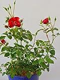 bodendeckende, jetzt ca. 40 cm breite Rose Austriana ® im 4 Liter Pflanzcontainer