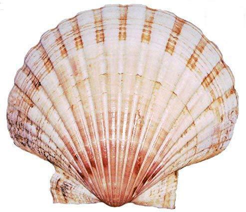 Scallop-Muscheln (6x Extra große 10-13cm große Scallops Shell) Muschel
