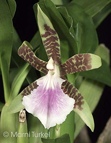 Generic Seeds: Aspasia Lunata COOL Easy Orchideenarten to INTERMEDITE