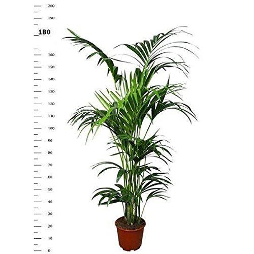 Kentia Palme 180-190 cm Howea forsterian