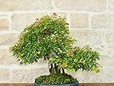 Bonsai di Acero Tridente su roccia (9)