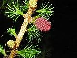 Europäische Lärche (Larix decidua) 50 Samen (Heimischer Baum - Winterhart) Auch Bonsai geeignet<