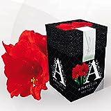 Amaryllis Red Lion + boîte à offrir - 1 bulbe de fleur