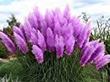 Lila Pampasgras (Cortaderia selloana)/Ziergras/50 Samen/farbenfroher Blütenstand in violett/pink