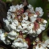 Bergenie, Bergenia cordifolia 'Silberlicht'