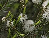 Seedeo  Australischer Teebaum ( Melaleuca alternifolia)...