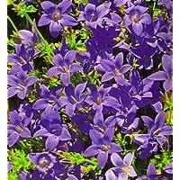 Bellflower serbio, semillas de cascada azul - Campanula poscharskyana - 480 semillas