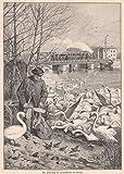 Havel - Die Fütterung der Havelschwäne. Idyllische Ansicht im Winter. Ein Mann verteilt das Futter am Ufer, viele Schwäne kommen angeschwommen um zu fressen, im Hintergrund eine Eisenbahnbrücke mit einem fahrenden Zug. [Grafik]