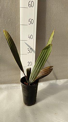 Bismarckia nobilis, Bismarckpalme, Topf 2 ltr. , Gesamthöhe: 40-50cm