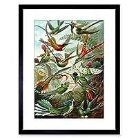 Wee Blue Coo Nature Biology Bird Humming Haeckel Framed Wall Art Print