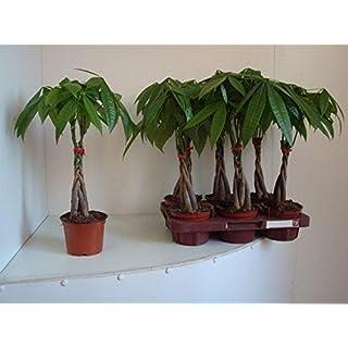 Pachira Aquatica plant with a plaited stem. Guiana Chestnut Tree