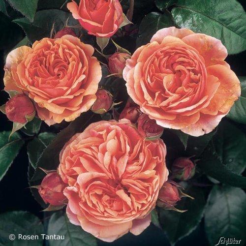 Rose Chippendale Strauchrose mit Blüten-Farbe dunkelorange-rosa - Winterharte Blume mit starkem Duft - Blütezeit von Juni bis Oktober von Garten Schlüter - Pflanzen in Top Qualität