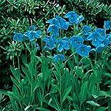 SANHOC Samen-Paket: Frische 400 Samen -MeconopsisFlower Seeds -