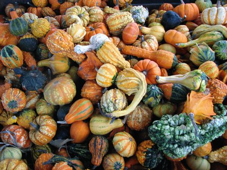 Premier Seeds Direct GOR13 Gourd Warty Mixed Finest Seeds (Pack of 40)