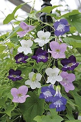 JustSeed–Blume–gloxinienwinden Glockenrebesamen, Mystic Series Mix–20Samen von Just Seed auf Du und dein Garten