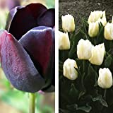 2 x Collection de Tulipes Noires et Blanches - ( 2 x 20 Bulbes Vivaces)